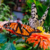 Monarch and Paper Kite butterflies in a Canary Island garden - a color image