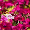 A color image of a petunia garden