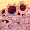 Two sunflowers in Maryland field - a false-color infrared image