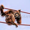 Orangutan contemplates climbing ropes- a color image