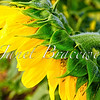 Side view of sunflower in Maryland field - a color image