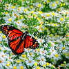 A color image of a monarch butterfly on Virginia's Eastern Shore