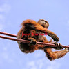 Orangutan on ropes looks down- a color image