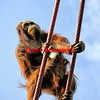 Orangutan climbs ropes- a color image