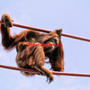 Orangutan contemplates climbing ropes- a color image