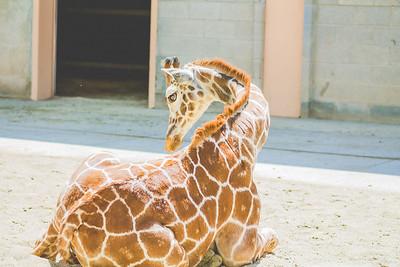 giraffes-6