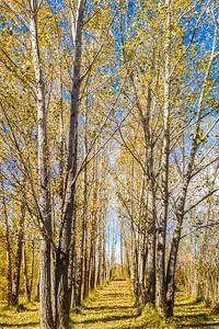Fall Trees-1