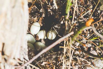 Duck Eggs-132