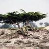MPCC Tree