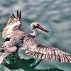 Fisherman's Wharf Pelican