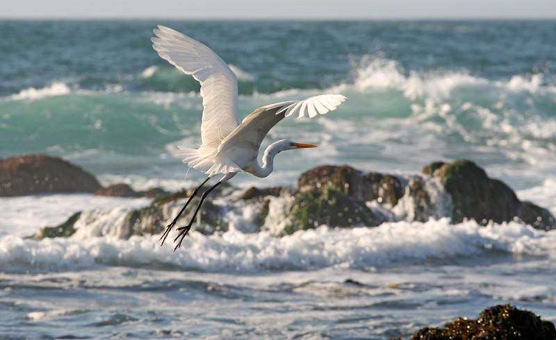 Egret #31