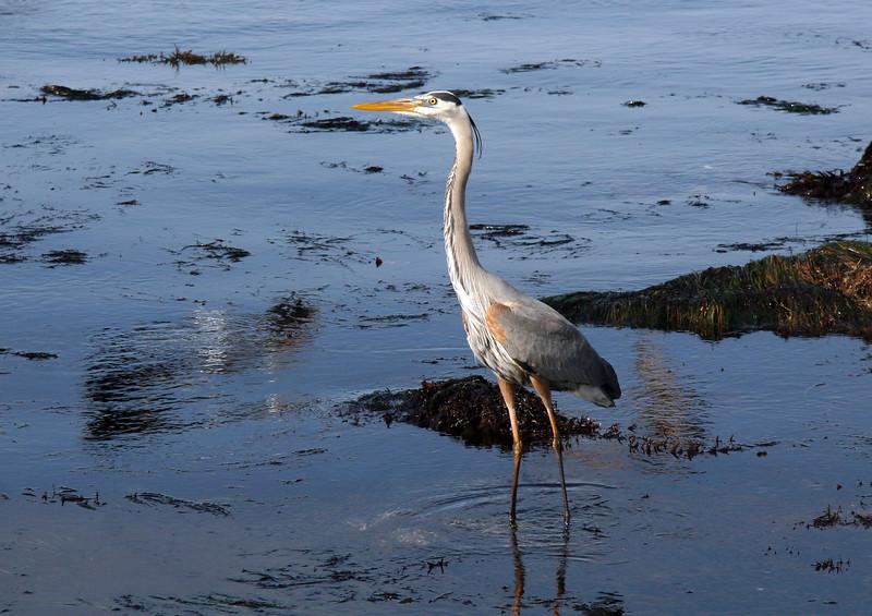 Blue Heron 17 Mile Drive