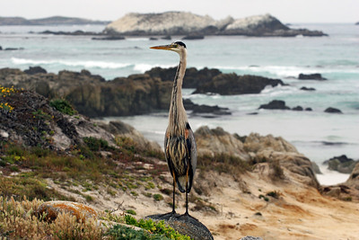 Blue Heron Bird Rock