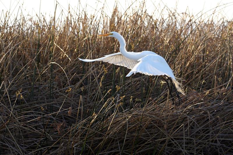 Egret in Flight #3