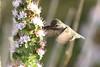 Anna's Hummingbird 3