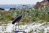 Blue Heron Pebble Beach