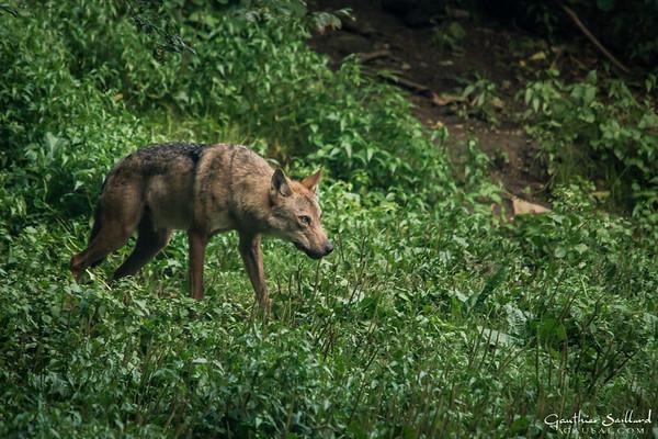 Weiblicher Wolf