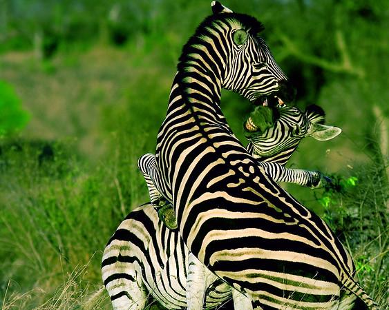 Crossed Zebras