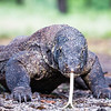 A Close Encounter with the Komodo