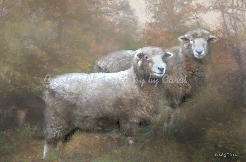 Ewes on a Hill