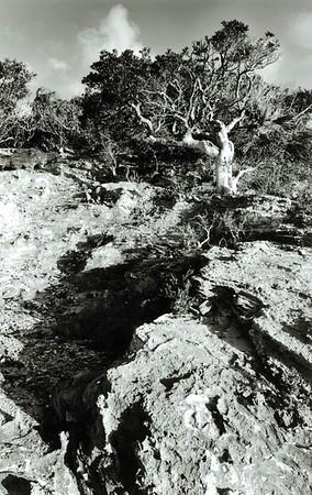Joe Wood Tree, Goat Cay, Exuma, Bahamas