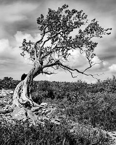 Tree with termite mound #2, Man-O-War Cay, Exuma, Bahamas