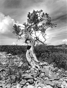 Tree with termite mound, Man-O-War Cay, Exuma, Bahamas
