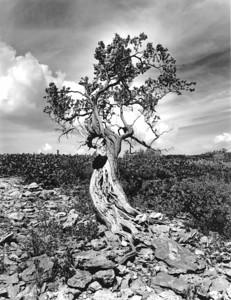 Tree with termite mound, Man-O-War Cay, Exuma, Bahamas