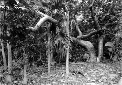 Gumbo limbo, Stocking Island, Exuma, Bahamas