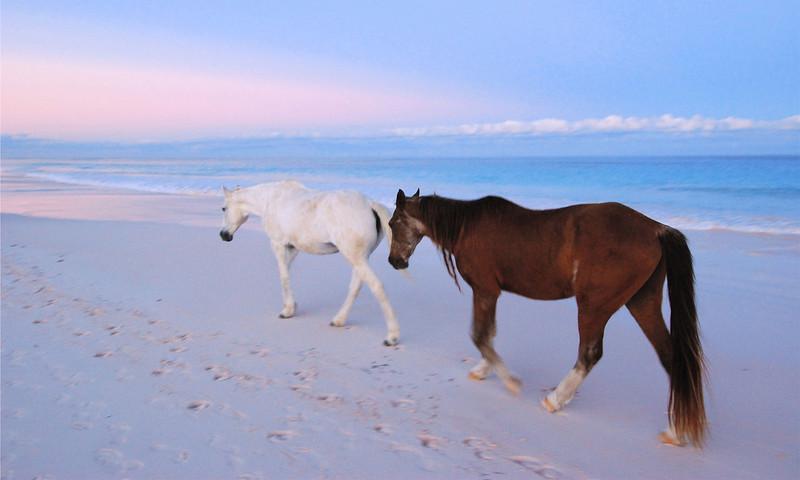 Harbour Island Horses  no. 10
