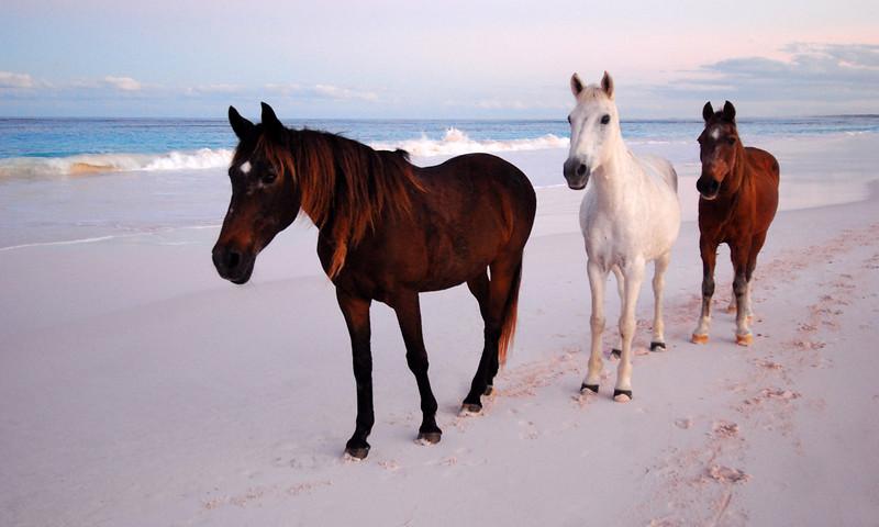 Harbour Island Horses  no. 3