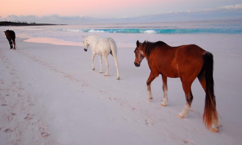 Harbour Island Horses  no. 12
