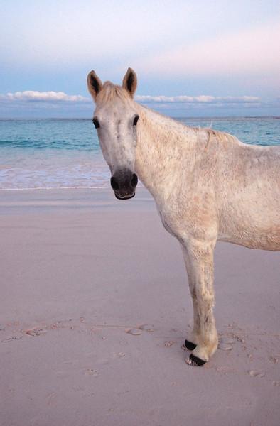 Harbour Island Horses  no. 9
