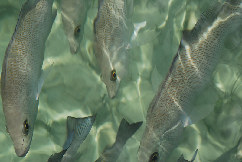 Grey Snappers