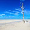 Sandbar Tree, Harbour Island, Bahamas