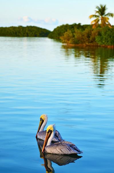Morada Bay pelicans