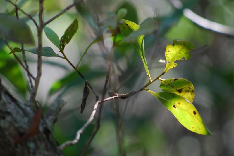 Mangrove Light II