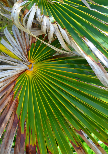 Thatch Palm, Tar Bay, Great Exuma, Bahamas