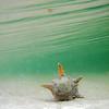 Tiamo conch