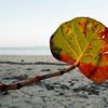 Out Island Sea Grape
