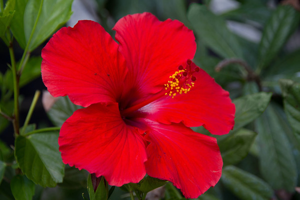Red Hibiscus<br /> Large flowers. like this red hibiscus are easier to shoot than many smaller flowers. You only need a good, close focus lens, good light and a steady hand.
