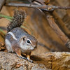 Acting A Little Squirrely<br /> A trip to the zoo is always fun and as I soon discovered, a bit challenging. It seems like the smaller the subject is for the camera, the more skill and patience it takes. These little antelope ground squirrels (and I mean little, no more than 6 inches) would scamper about like big mice, only to sit still for a second or two.<br /> Just when get the lens pointed in their general direction, they were off again, like a woman late for a shoe sale.. You had no idea which way they would turn and run either. At least you know where the shoe department is.<br /> Here are a few other photos from a recent trip to the Houston Zoo.