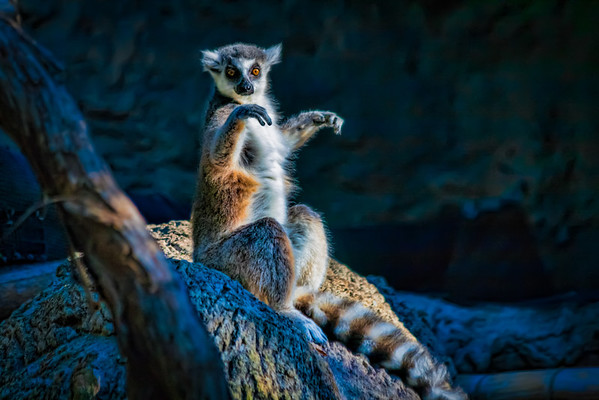 Ring-Tailed Lemur<br /> Like all lemurs, the ring-tailed lemur is found on the island of Madagascar and their long ringed tail makes them easy to identify.