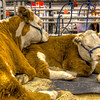 Power Nap<br /> Being a cow is hard work I suppose. You have to constantly eat to keep your figure, plus it takes a lot of energy to 'moove' that figure around too. So whenever you get a chance, you try to take in a quick power nap. These sleepy friends were at The Houston Livestock Show and Rodeo, waiting their time to show. <br /> For many city folks, a livestock show may be the only opportunity to see up close livestock normally found in the country. It's great family fun too.