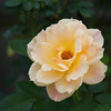 "Yellow Rose of Texas<br /> The famous Texas song is based on a legend from the days of the Texas War of Independence. Supposedly, a woman named Emily D. West was captured by Mexican forces during the looting of Galveston in 1836 and seduced General Antonio López de Santa Anna, President of Mexico and commander of the Mexican forces. The legend credits her supposed seduction with lowering the guard of the Mexican army, contributing to the Texan victory in the Battle of San Jacinto. The battle ended literally in minutes, with no Texan casualties. An interesting note, she was a mulatto, which is why the song references to her as being ""yellow""."