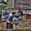 "On Patrol<br /> I ran across this rooster at the Children's Zoo. Though he had free run of the place, he had his ""boardwalk"" along top a fence that he would pace back and force. Anyone that got too close, he would stop and give you that ""you better move on; nothing of interest here"" look. He was pretty convincing, because everyone gave him his space.<br /> There was this one photographer that wouldn't leave him alone though. He managed to escape before things got nasty."