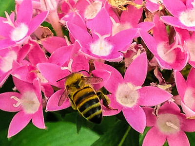 Big Bee on a Small Flower