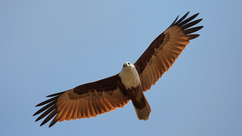 Majestic Brahminy kite