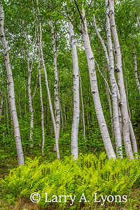 Birch Tree Woods