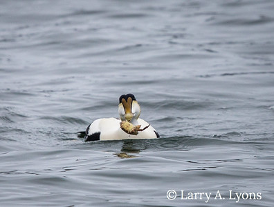 Common Eider with Crab